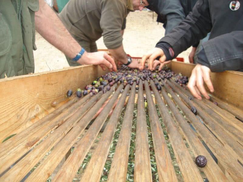 Trie manuelle des olives