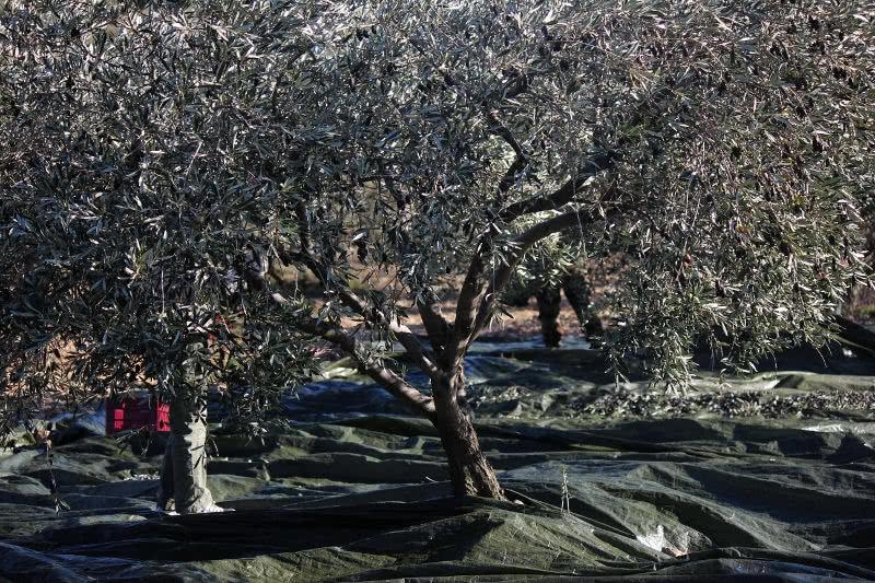 Filet de récolte des olives